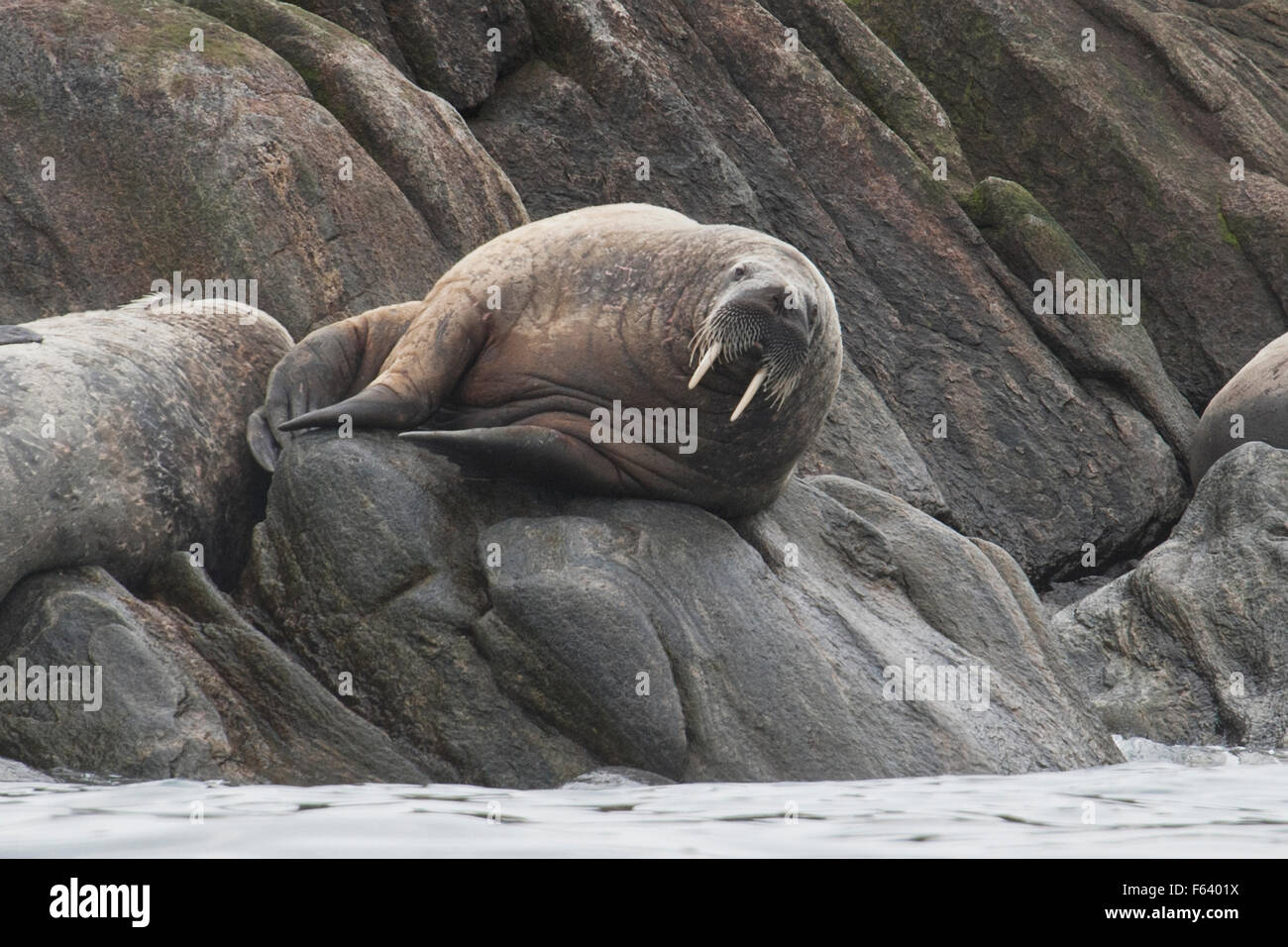 Walrus, Odobenus rosmarus, hauled-out on rocks, Baffin Island, Canadian Arctic. - Stock Image