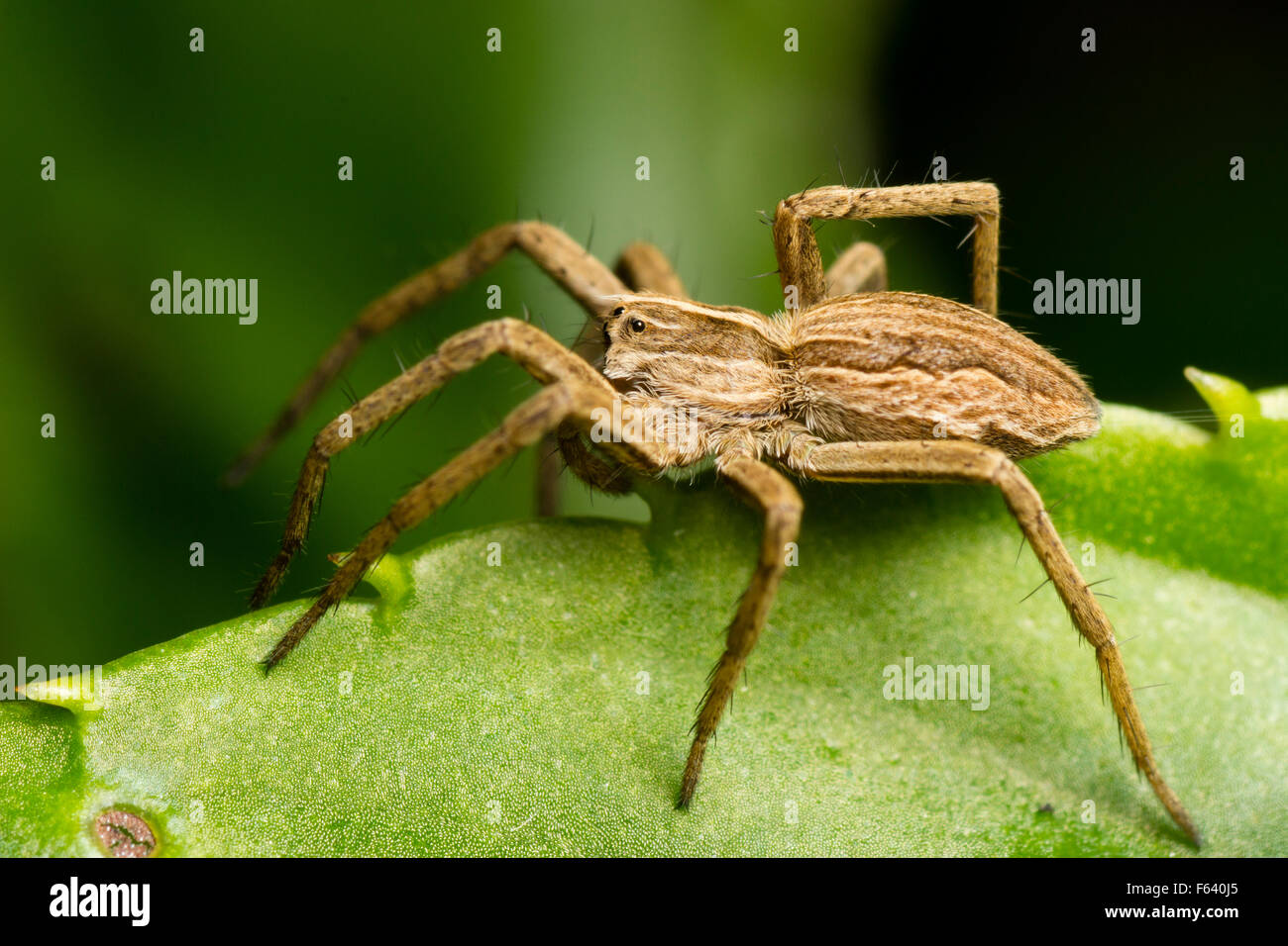 Side view of a female Nursery web spider, Pisaura mirabilis, in a Plymouth garden - Stock Image
