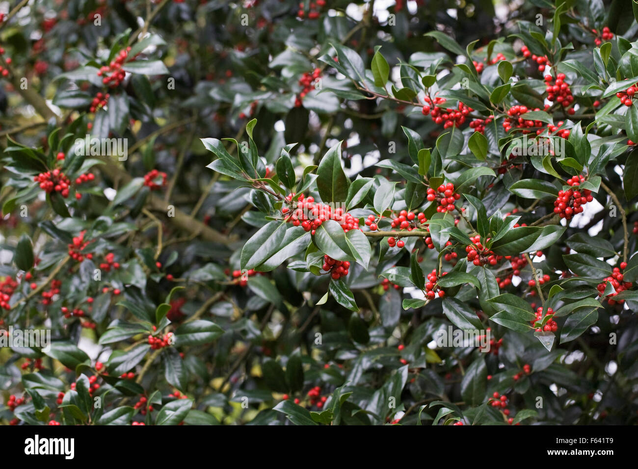 Ilex x altaclerensis 'James G Esson'. Holly berries in Autumn. - Stock Image