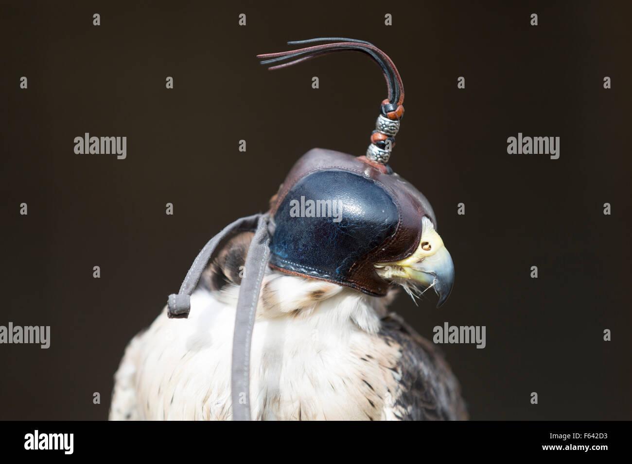 Wildlife : European Kestrel (Falco tinnunculus), bird of prey. Aka Eurasian Kestrel or Old World Kestrel - Stock Image