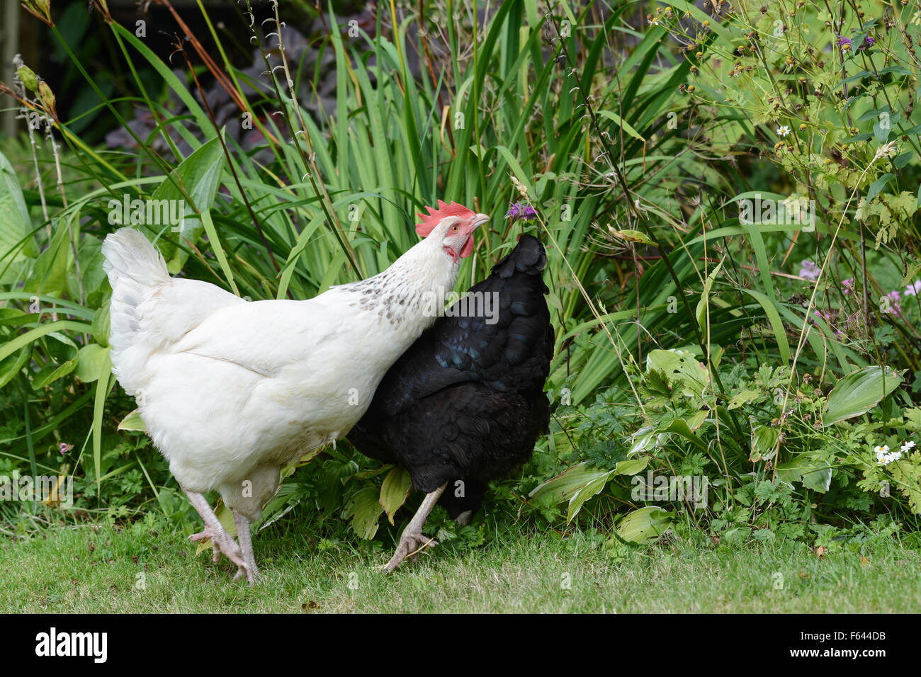 pet chicken roaming free range in garden spots an ear of wheat - and focuses on it intently - Stock Image
