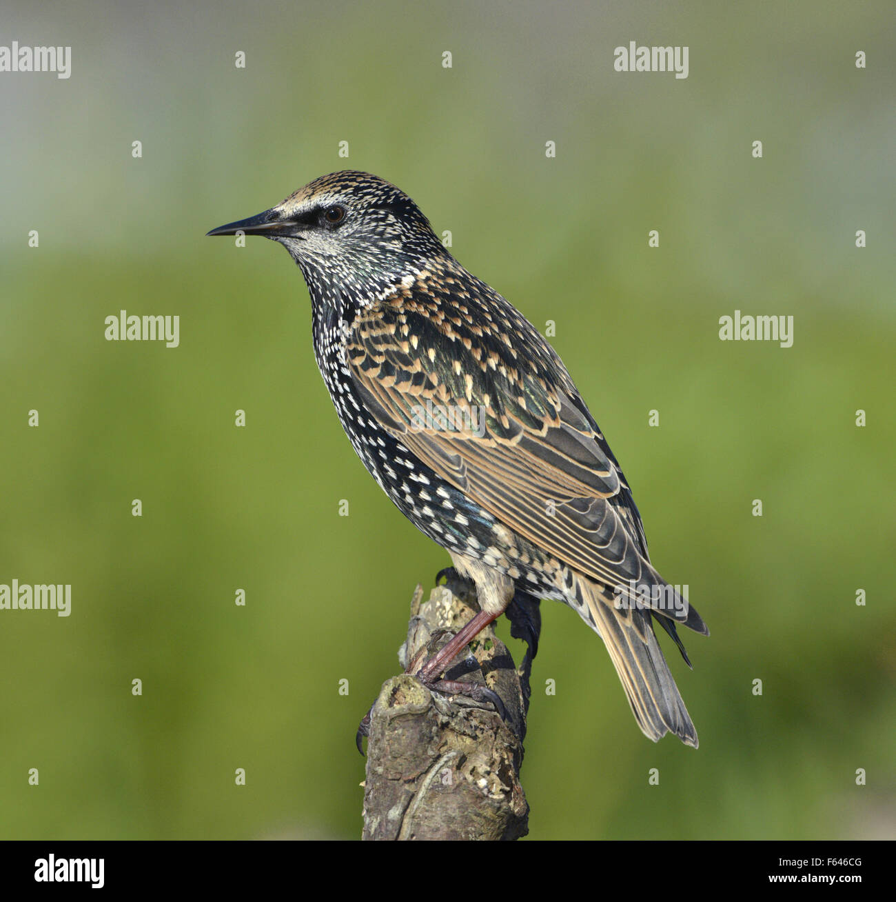 Starling - Sturnus vulgaris. - Stock Image