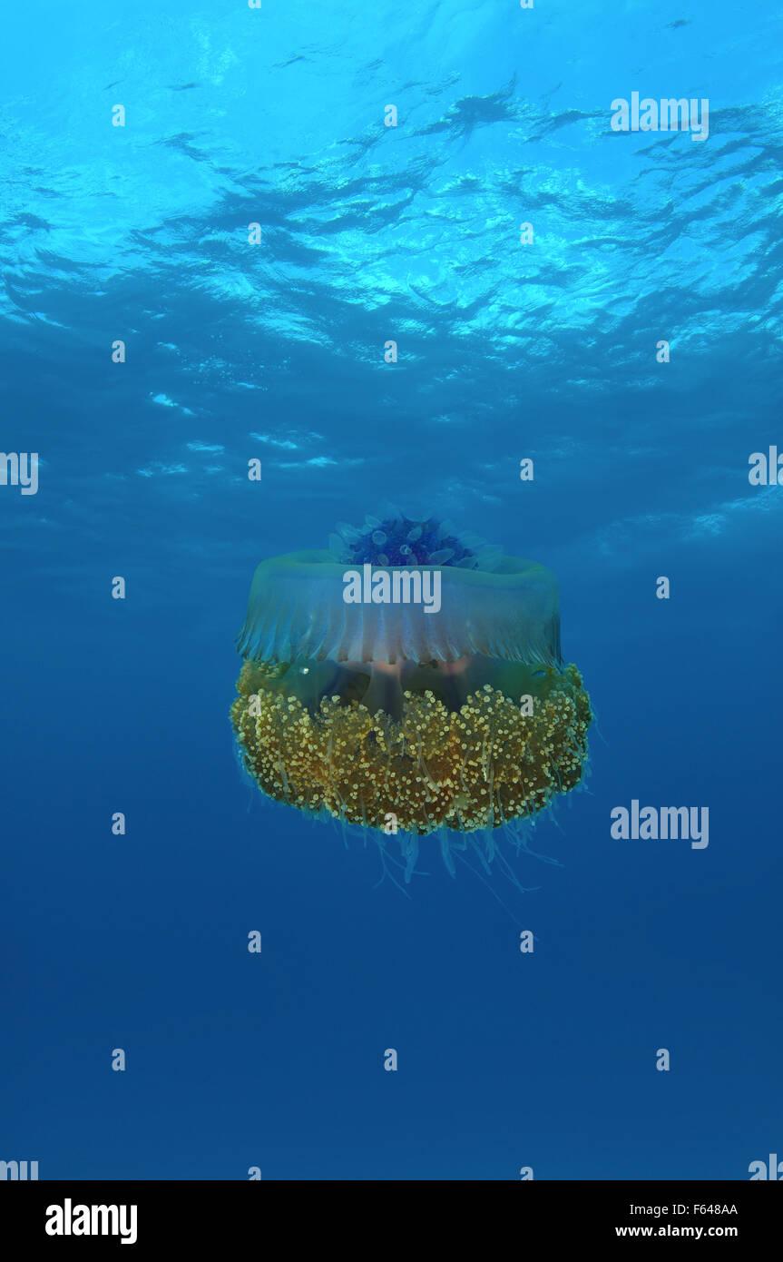 Cauliflower jellyfish (Cephea cephea) Indian Ocean, Maldives - Stock Image