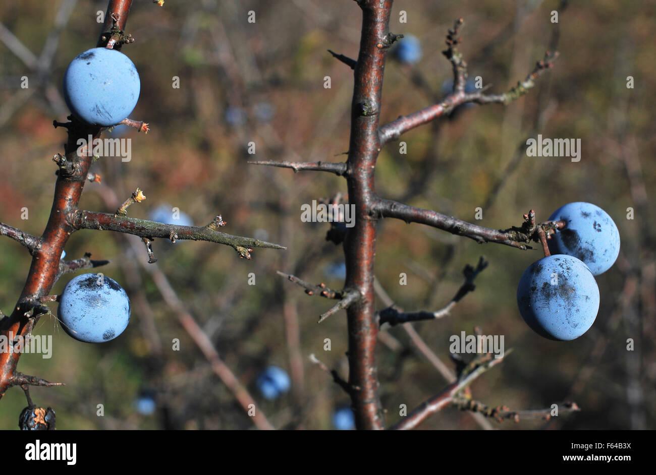 Wild plum (prunus spinosa) - Stock Image