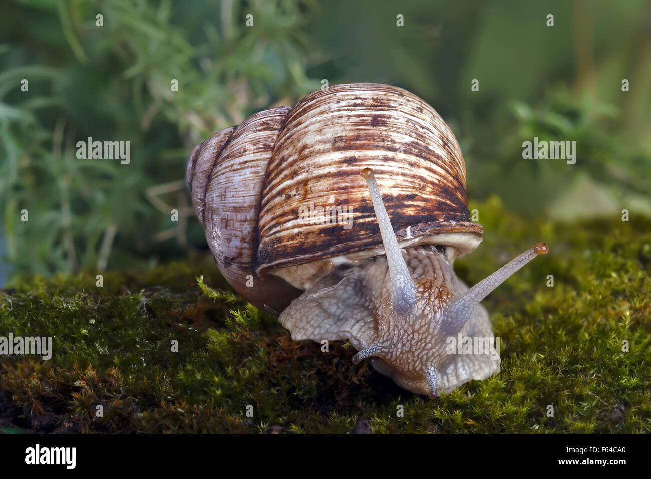 Snail in sphagnum moss. Shallow depth of field, focus on the head of a snail Stock Photo