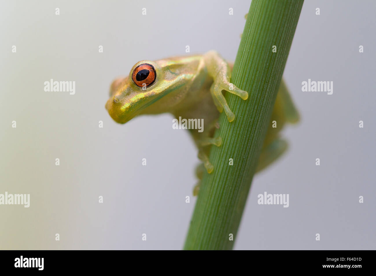 Cuban Treefrog (Osteopilus septentrionalis) Fort Myers, Florida, USA. Introduced species. - Stock Image