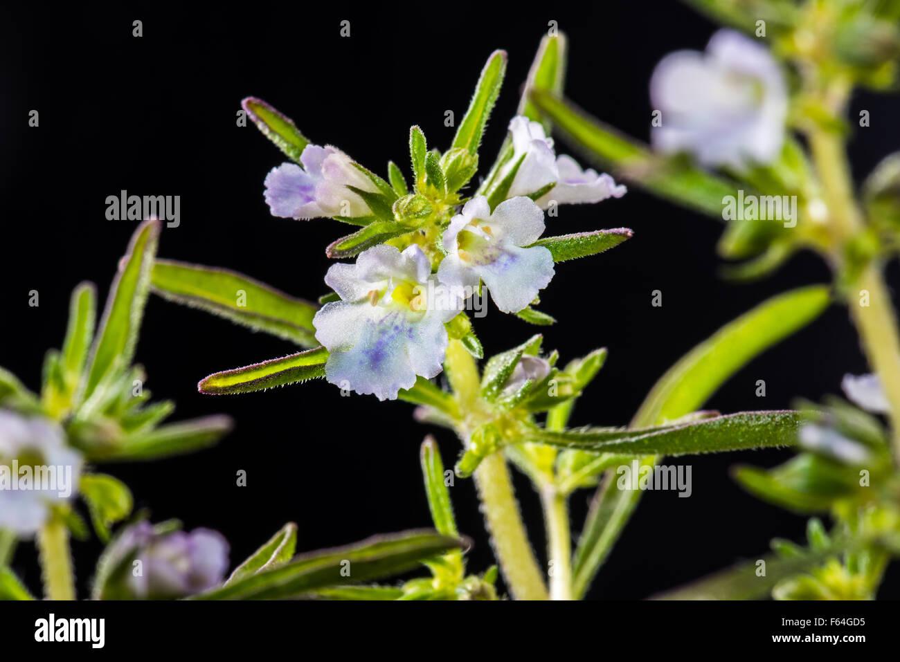 Savory, spice, seasoning, bloom, blooming, in bloom, plant, essential oils, fresh, herb, herbal, green, purple, - Stock Image