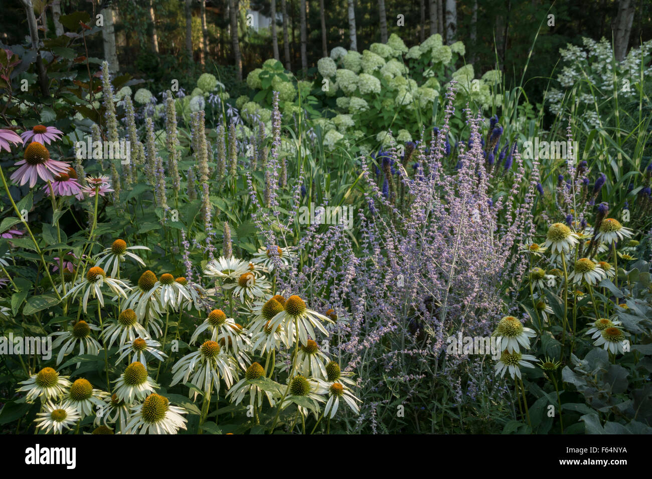 Summer border planted with white and violet perennials. - Stock Image