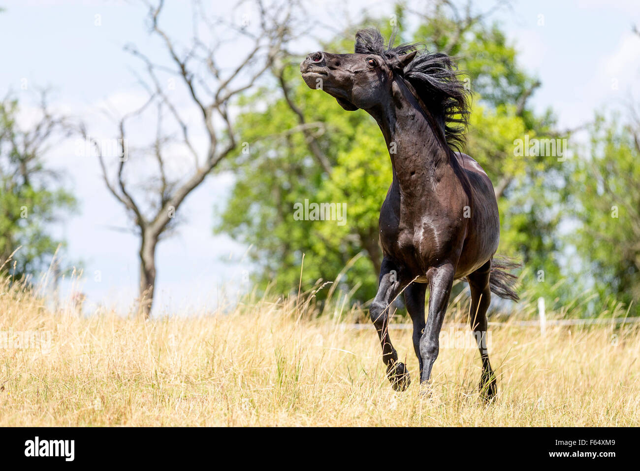 Barb Horse. Black stallion displaying on a pasture. Germany - Stock Image