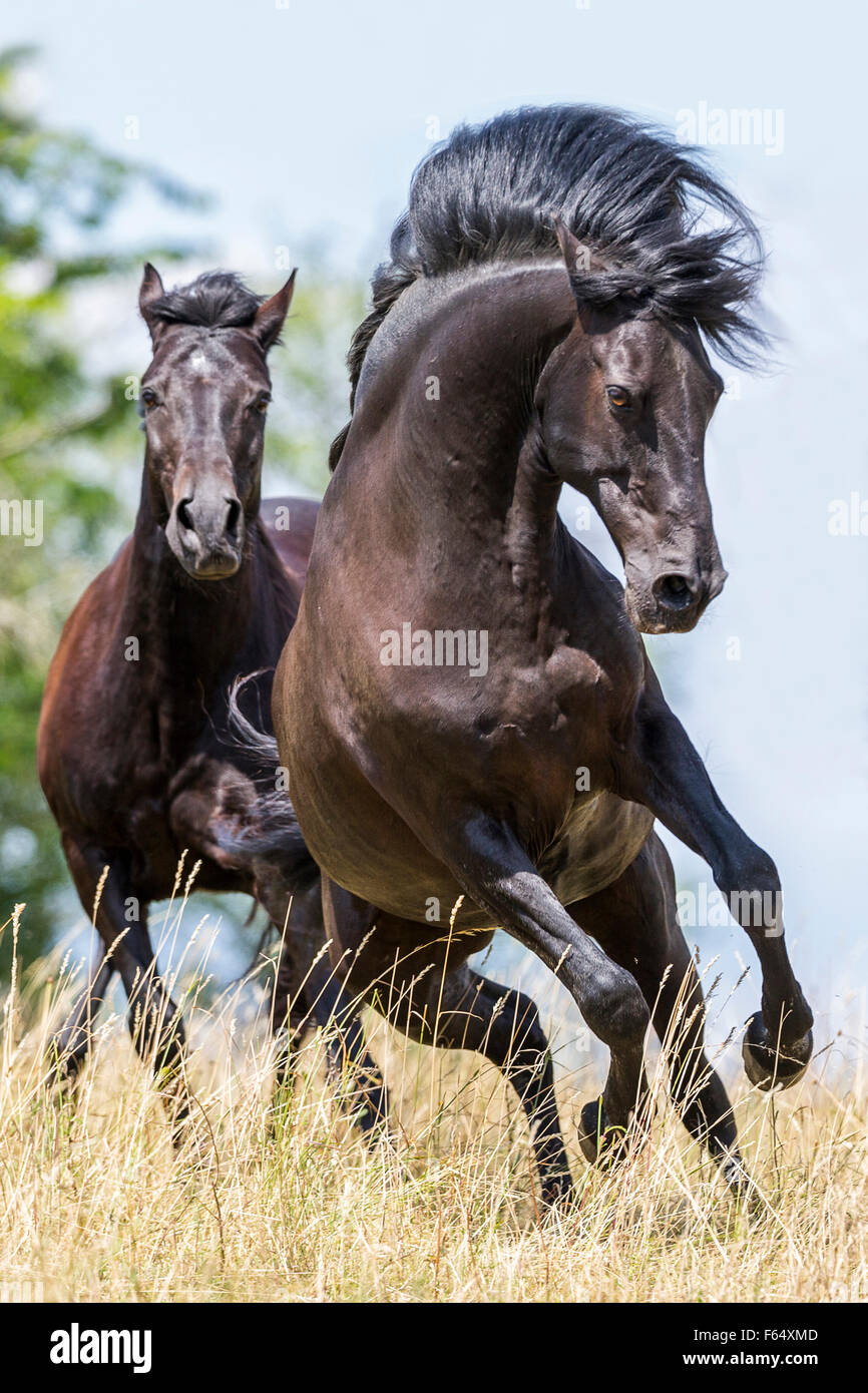 Barb Horse And American Quarter Horse. Two Horses