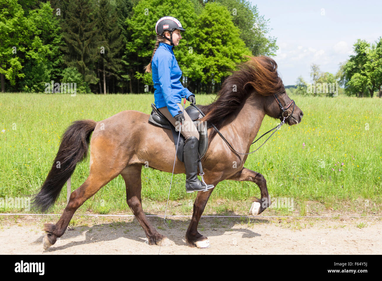 Icelandic Horse. Girl performing the toelt on a stallion on a riding place. Austria - Stock Image