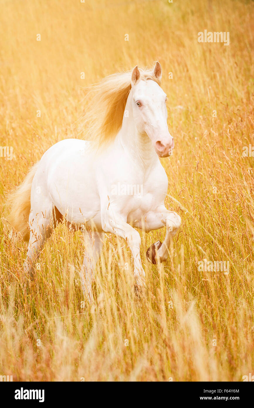 Lusitano. Cremello stallion galloping in tall dry grass. Germany - Stock Image