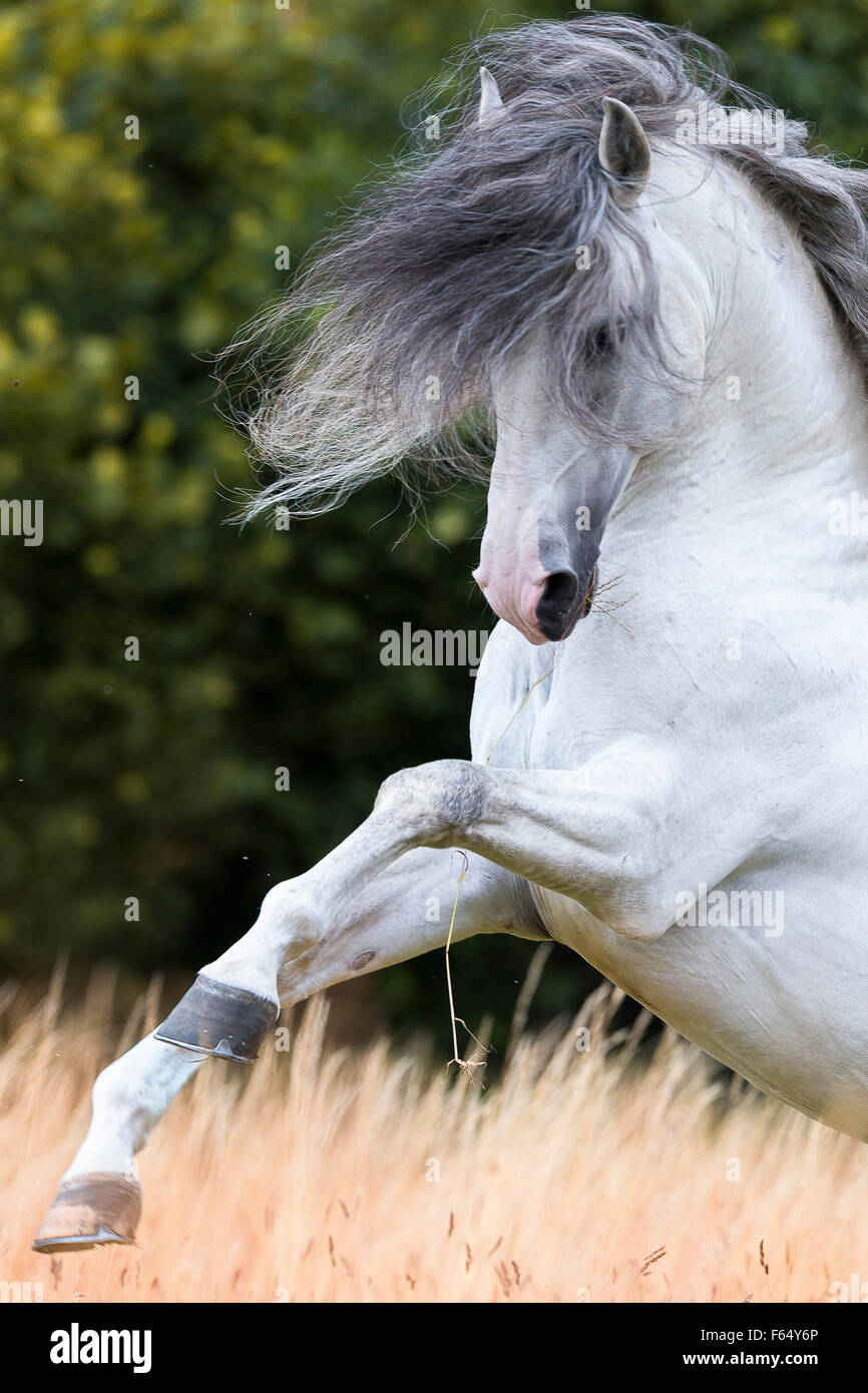 Lusitano. Gray stallion showing off on a pasture. Germany - Stock Image