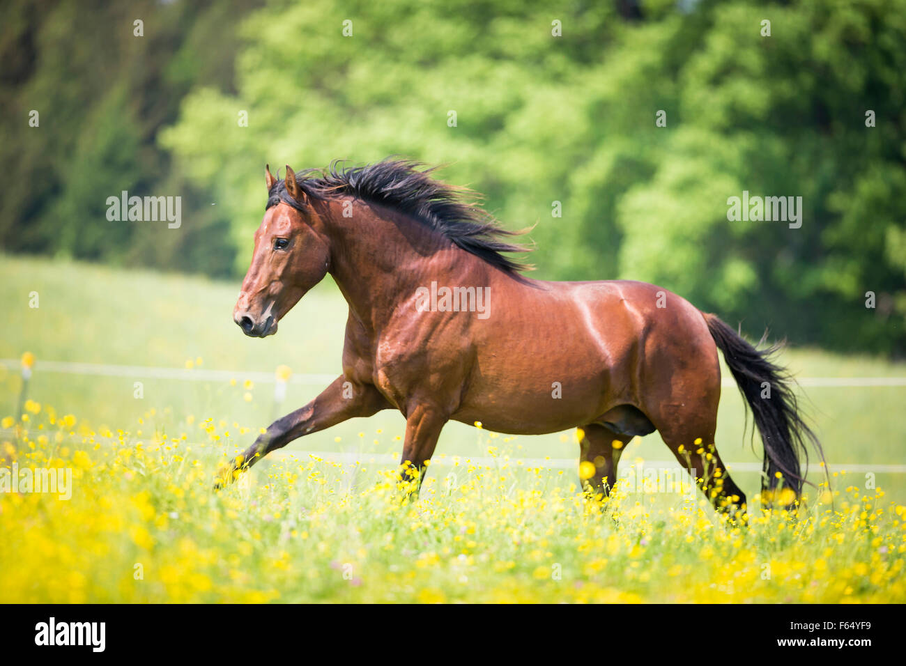 Paso Iberoamericano. Bay stallion galloping on a pasture. Germany - Stock Image
