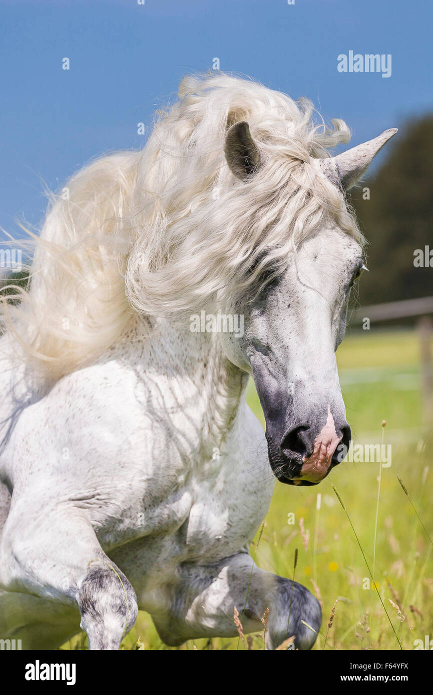 Pure Spanish Horse, Andalusian. Gray stallion galloping on a pasture, portrait. Germany - Stock Image