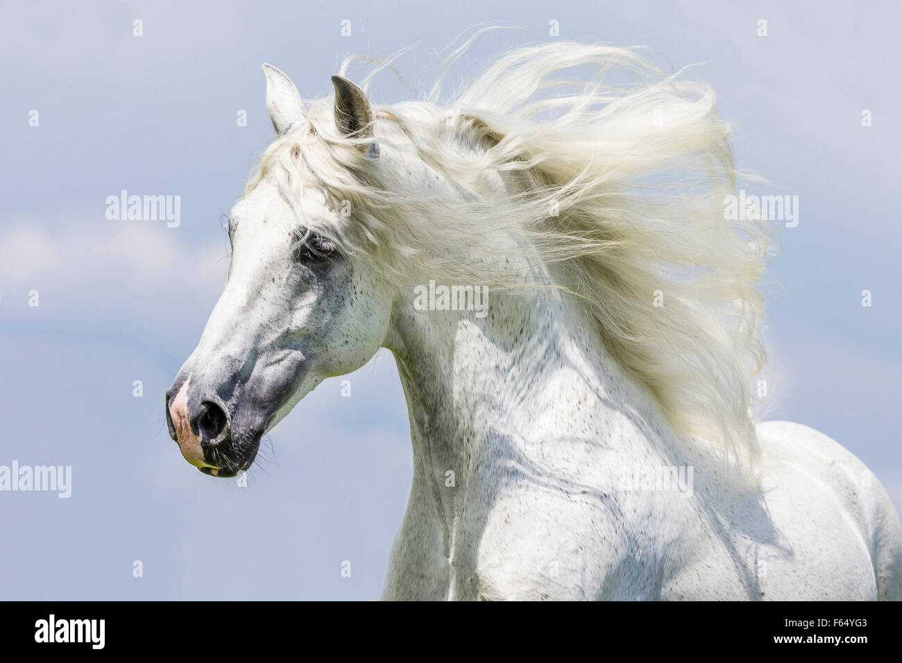 Pure Spanish Horse, Andalusian. Portrait of gray stallion with mane flowing. Germany - Stock Image
