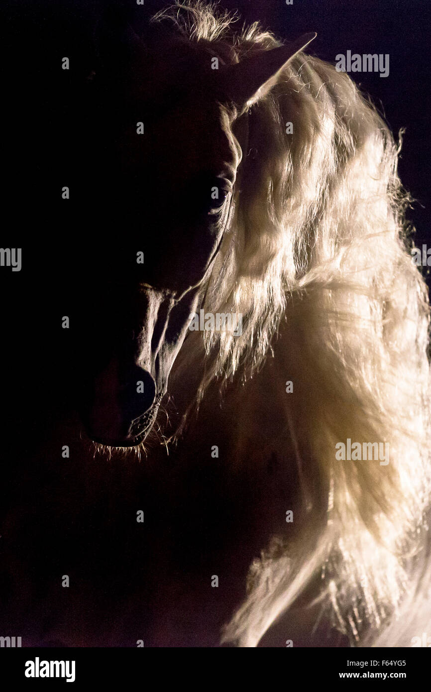 Pure Spanish Horse, Andalusian. Portrait of stallion in backlight, seen against a black background. Germany - Stock Image