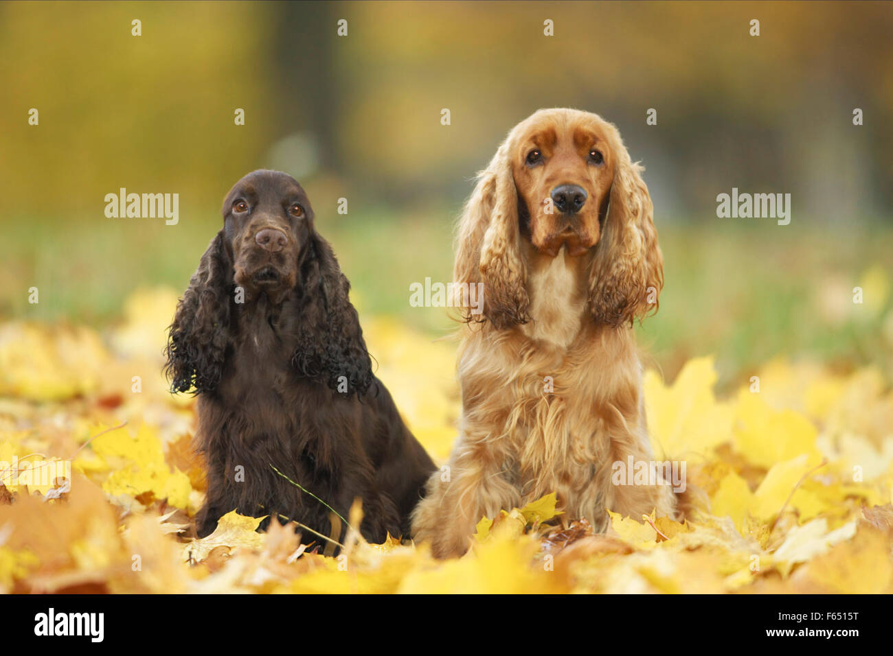English Cocker Spaniel. Two adults sitting in autumn leaves. Germany - Stock Image