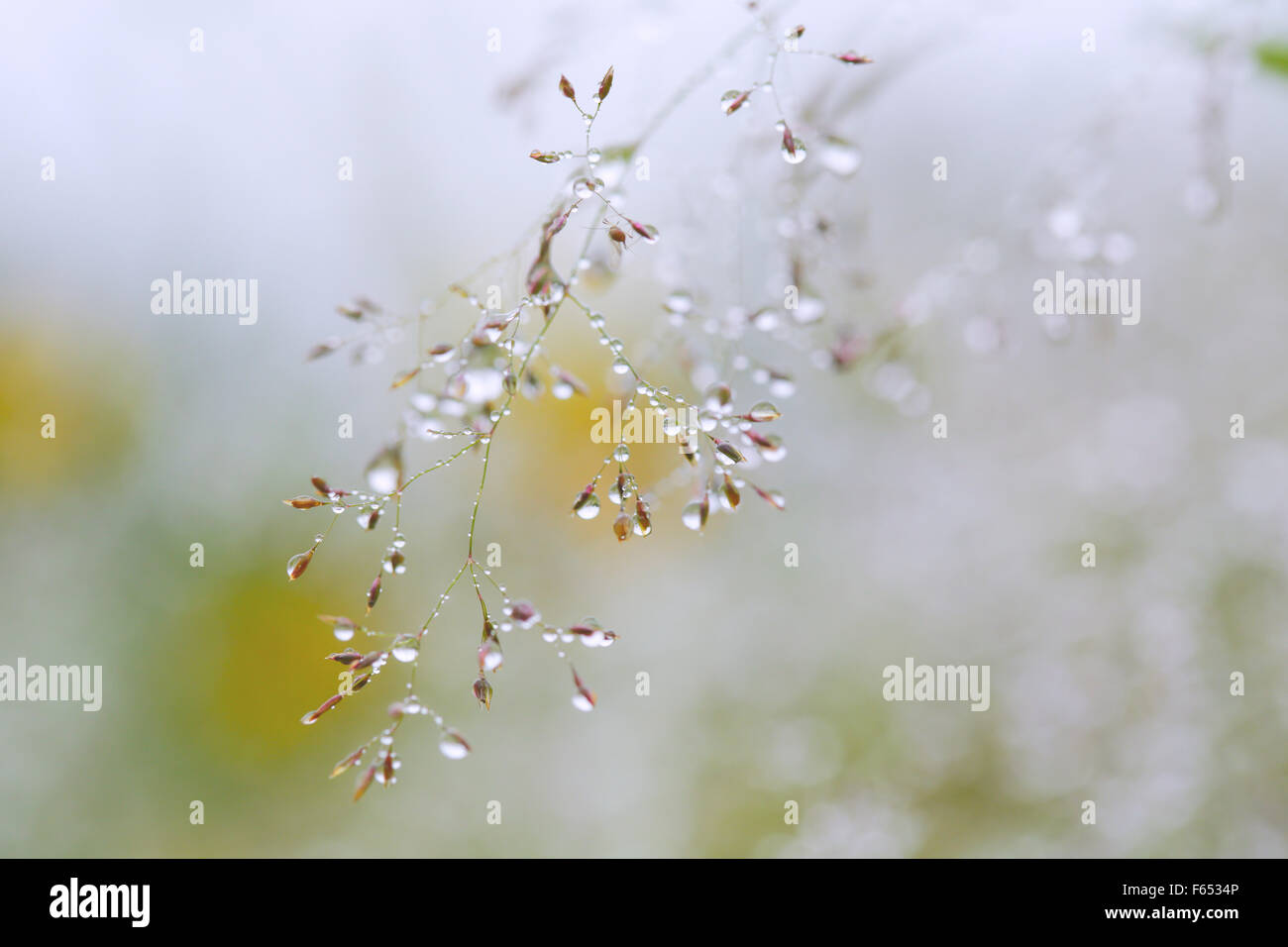 Dewdrops on meadow grass. - Stock Image