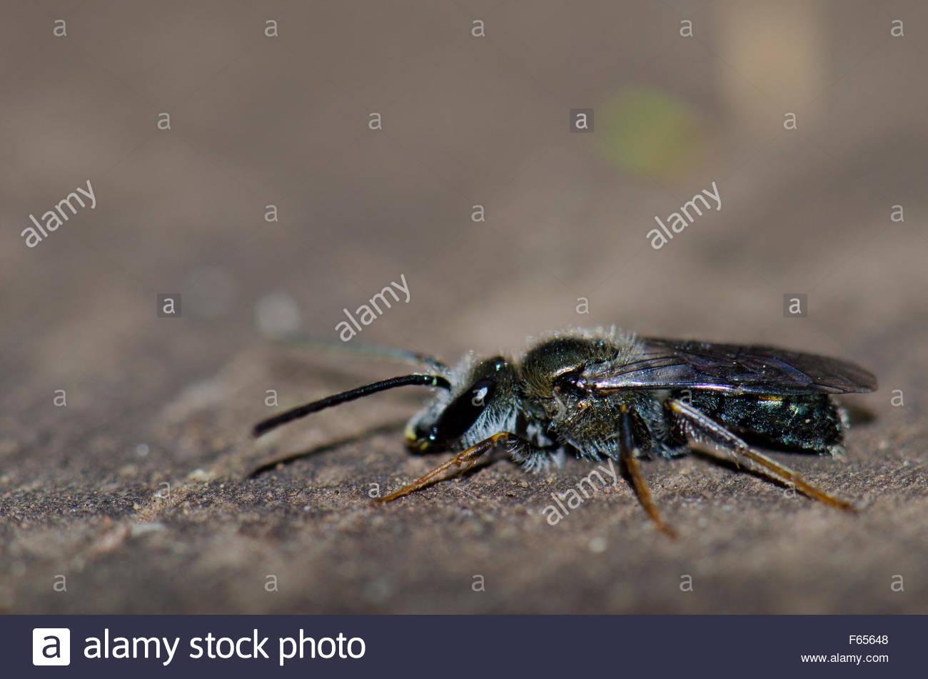 Wasp. La Laguna Grande. Garajonay National Park. Island of La Gomera. Canary Islands. Spain. - Stock Image
