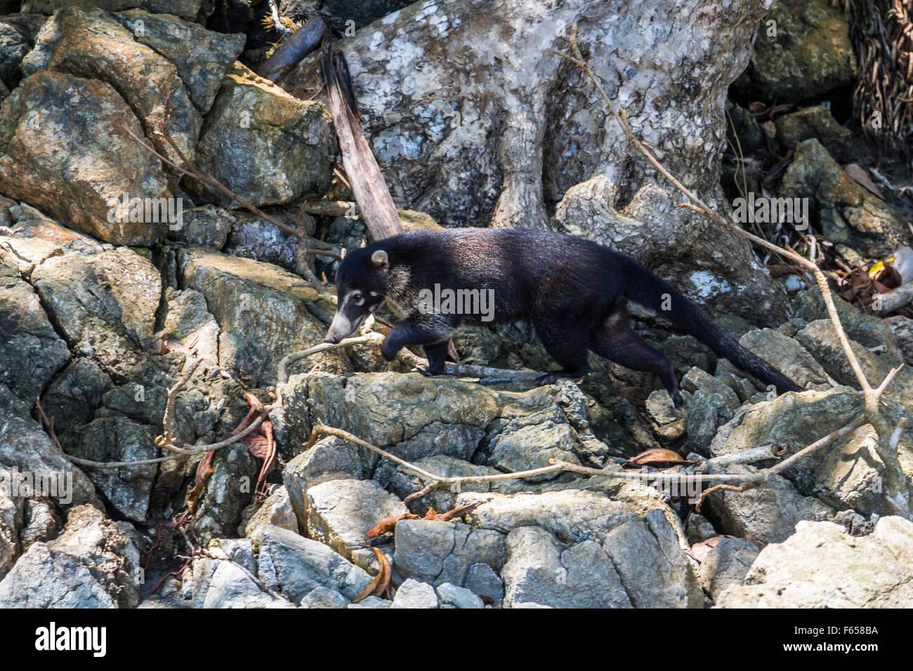 Coati in the jungle of Costa Rica - Stock Image