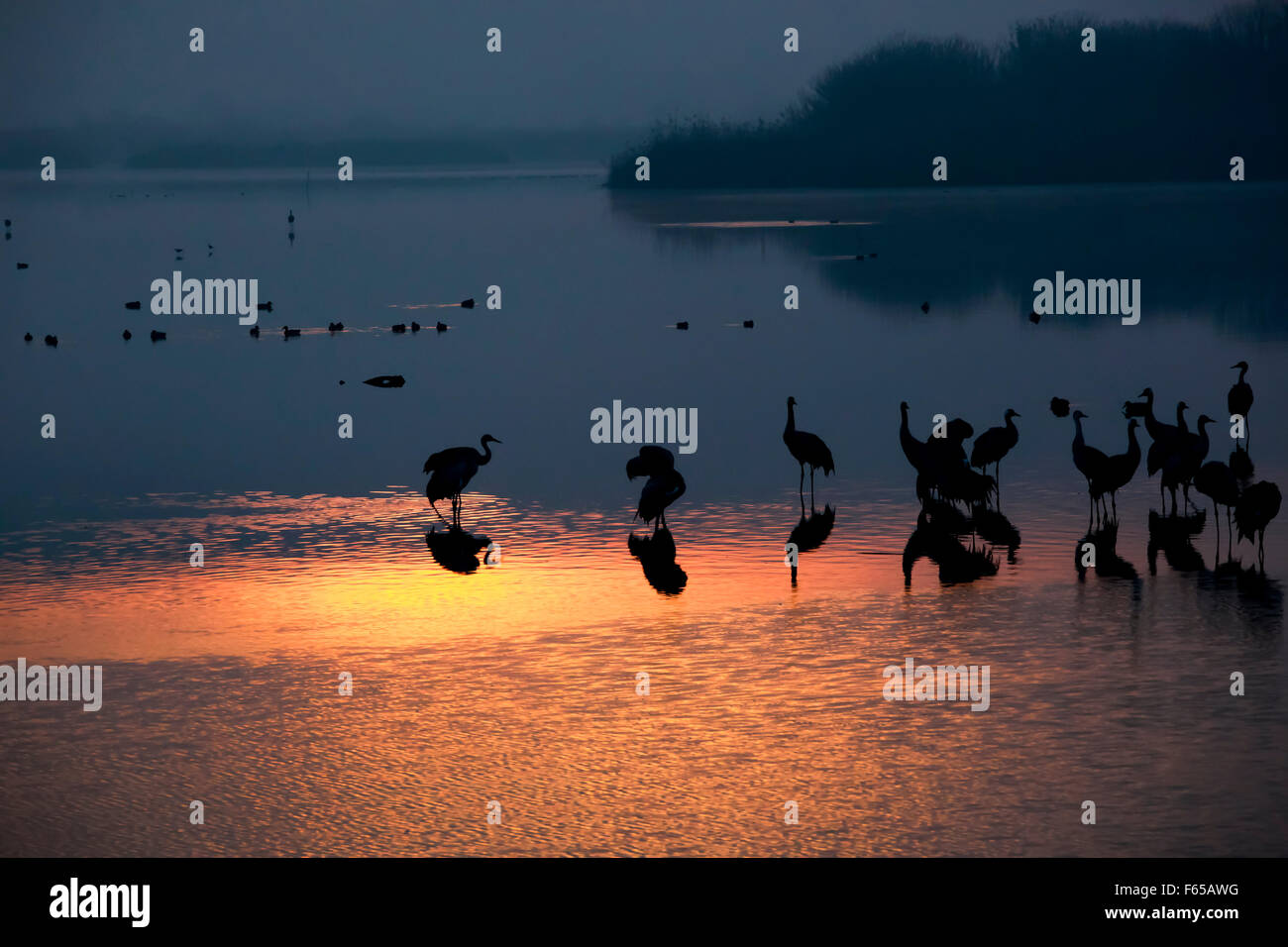 Common crane (Grus grus) Silhouetted at sun-set. Large migratory crane species that lives in wet meadows and marshland. Stock Photo