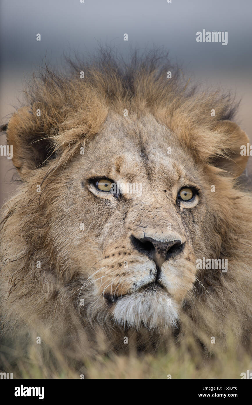 Male lion portrait in Moremi National Park, Botswana Stock Photo