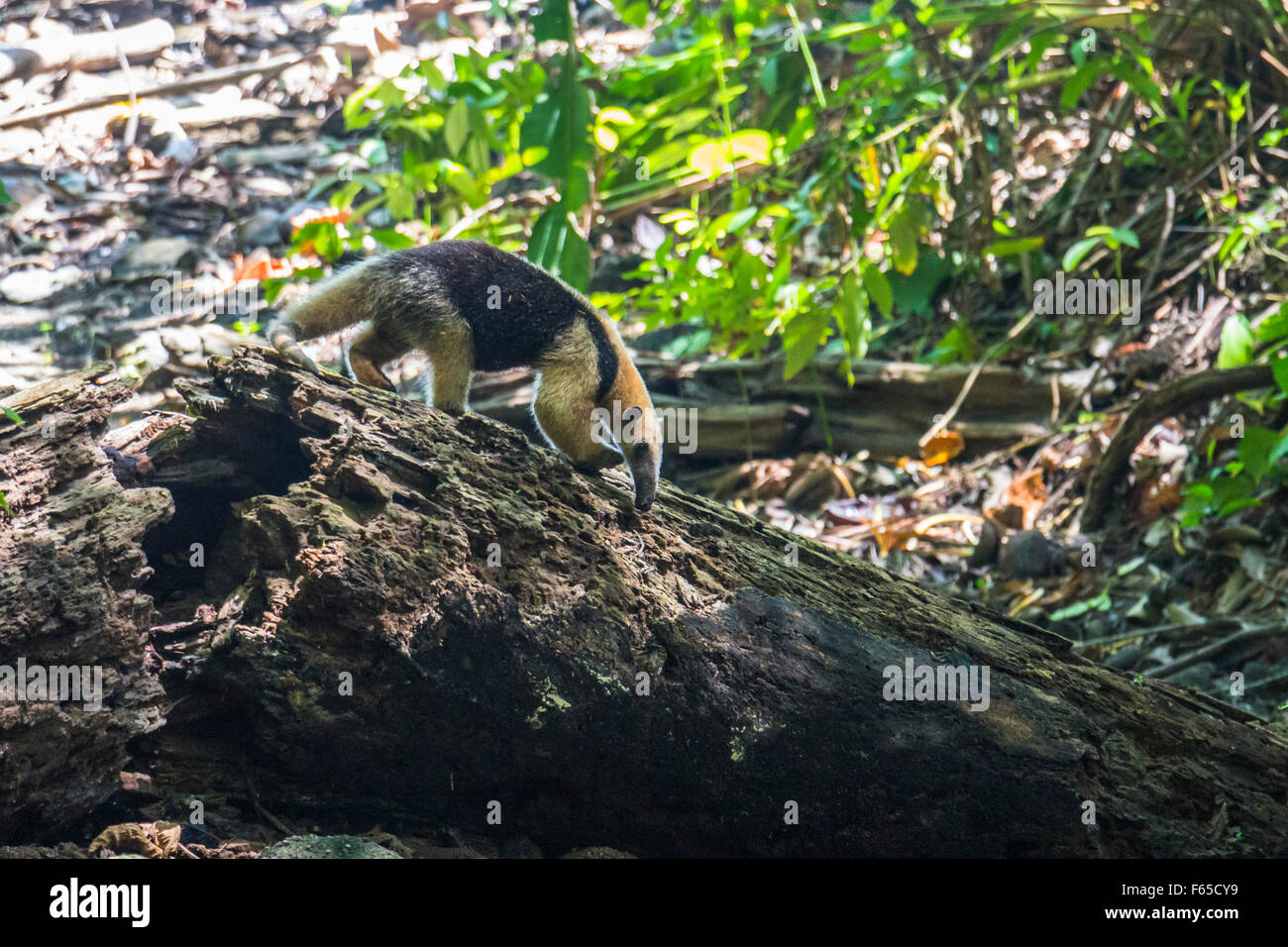 Ant-eater searching for food - Stock Image