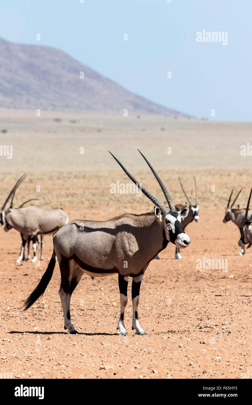 Oryx antilope (gemsbock) - heraldic animal of Namibia in Wolwedans, NamibRand Nature Reserve - Stock Image