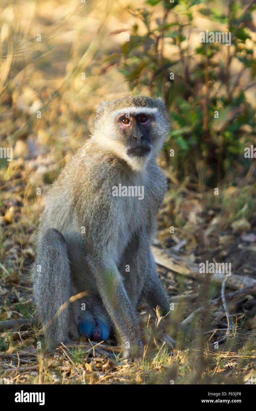 A monkey in the Mahango National Park, West-Caprivi, Namibia, Africa - Stock Image
