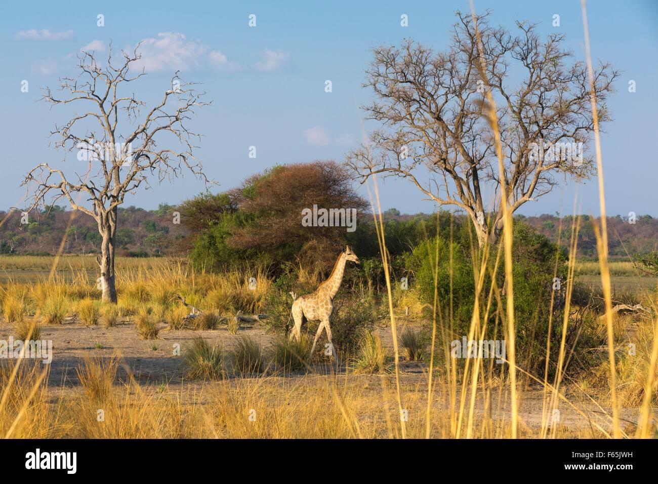 A giraffe on the flood plain of the Kwando River, Mahango National Park, West-Caprivi, Namibia - Stock Image