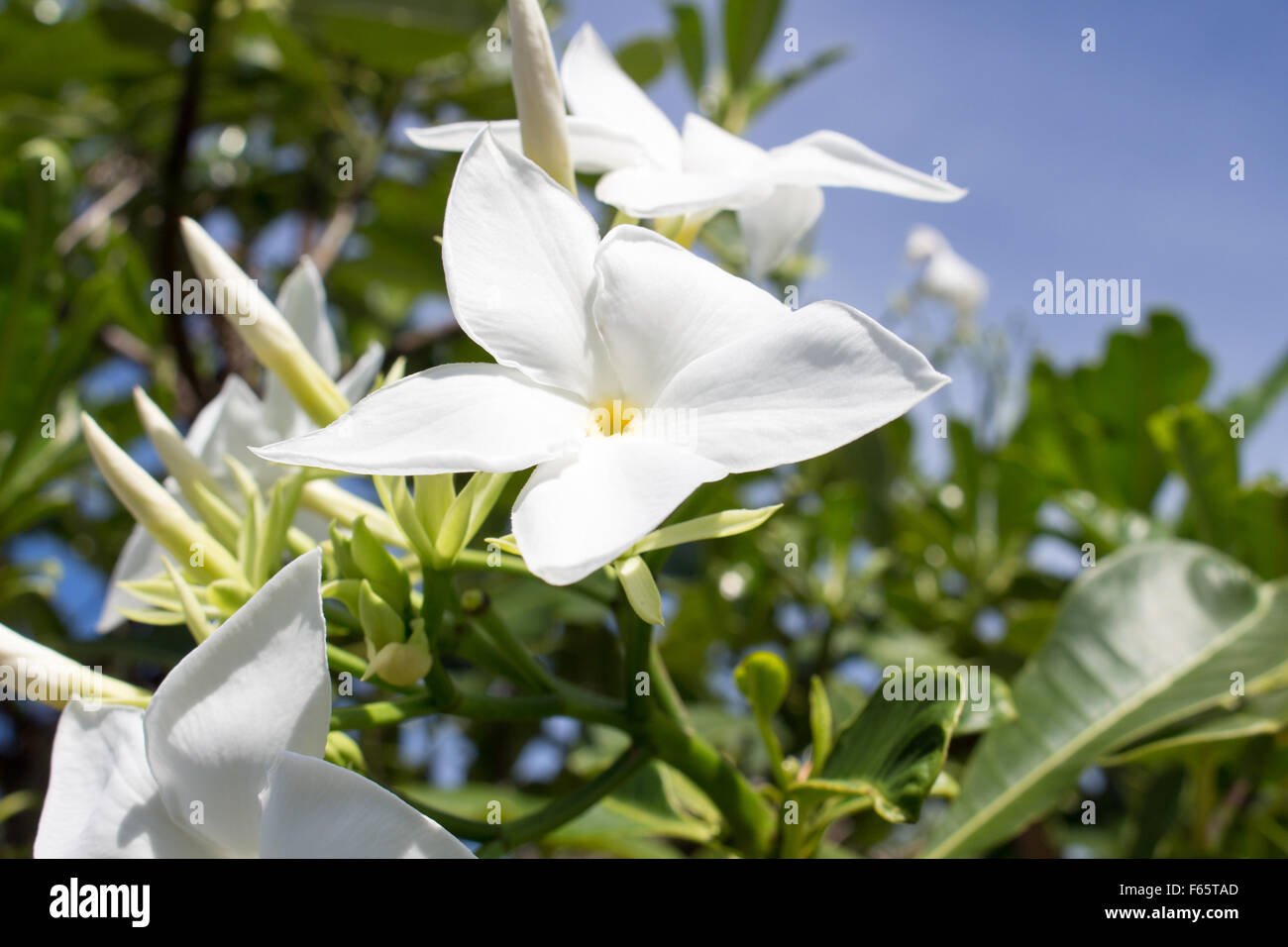 champa flower background - Stock Image