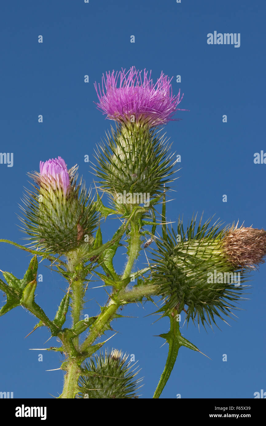 Spear Thistle, Bull Thistle, Spear-Thistle, Bull-Thistle, Gewöhnliche Kratzdistel, Distel, Cirsium vulgare, Cirsium Stock Photo