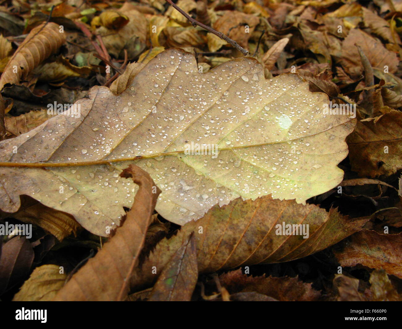 A close up of autumn leaves. A brown oak leaf covered in dewdrops and lit by the sun is in the center. - Stock Image