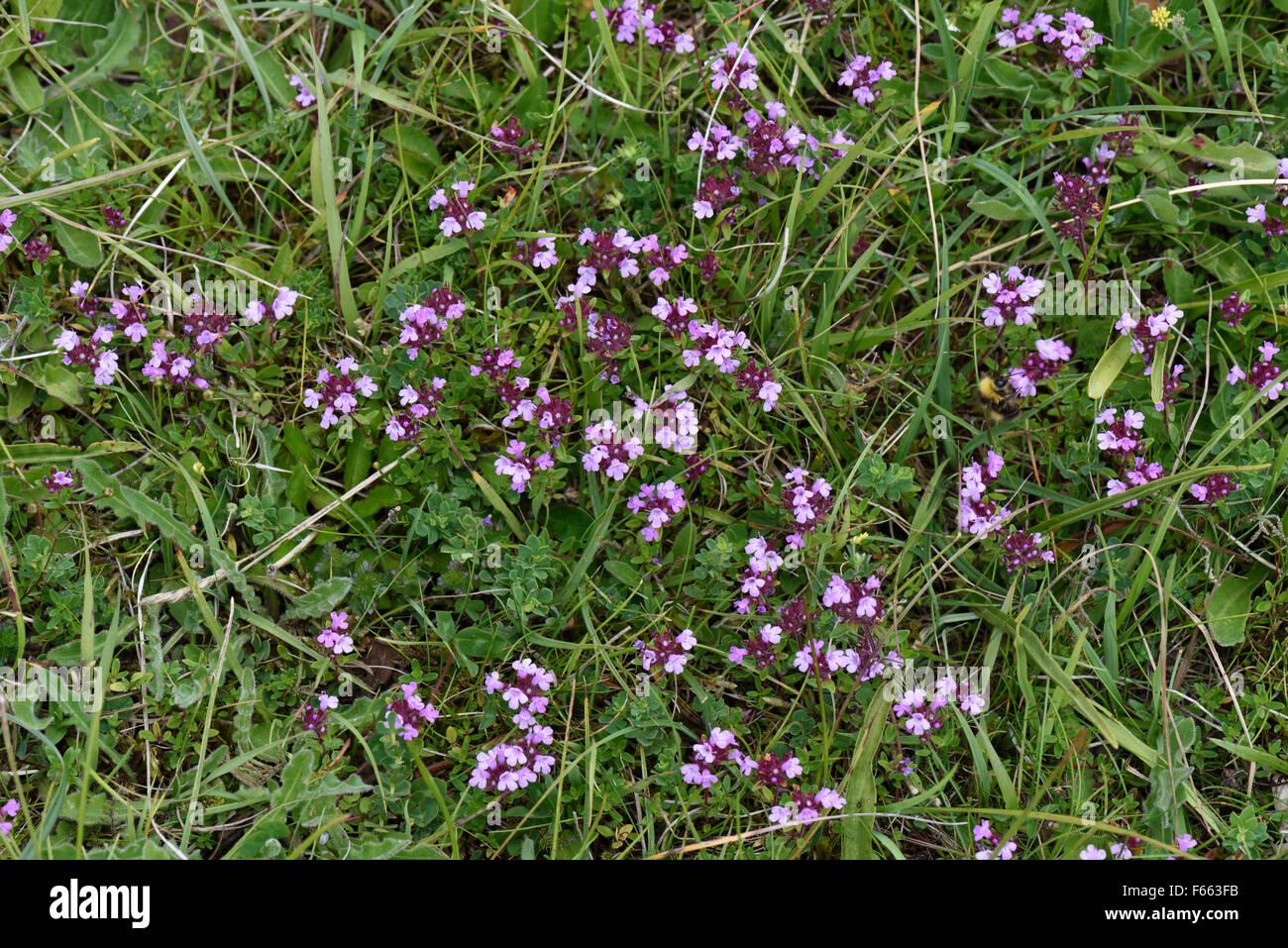 Wild thyme, Thymus serpyllum, flowering in short downland grassland, Berkshire, June Stock Photo
