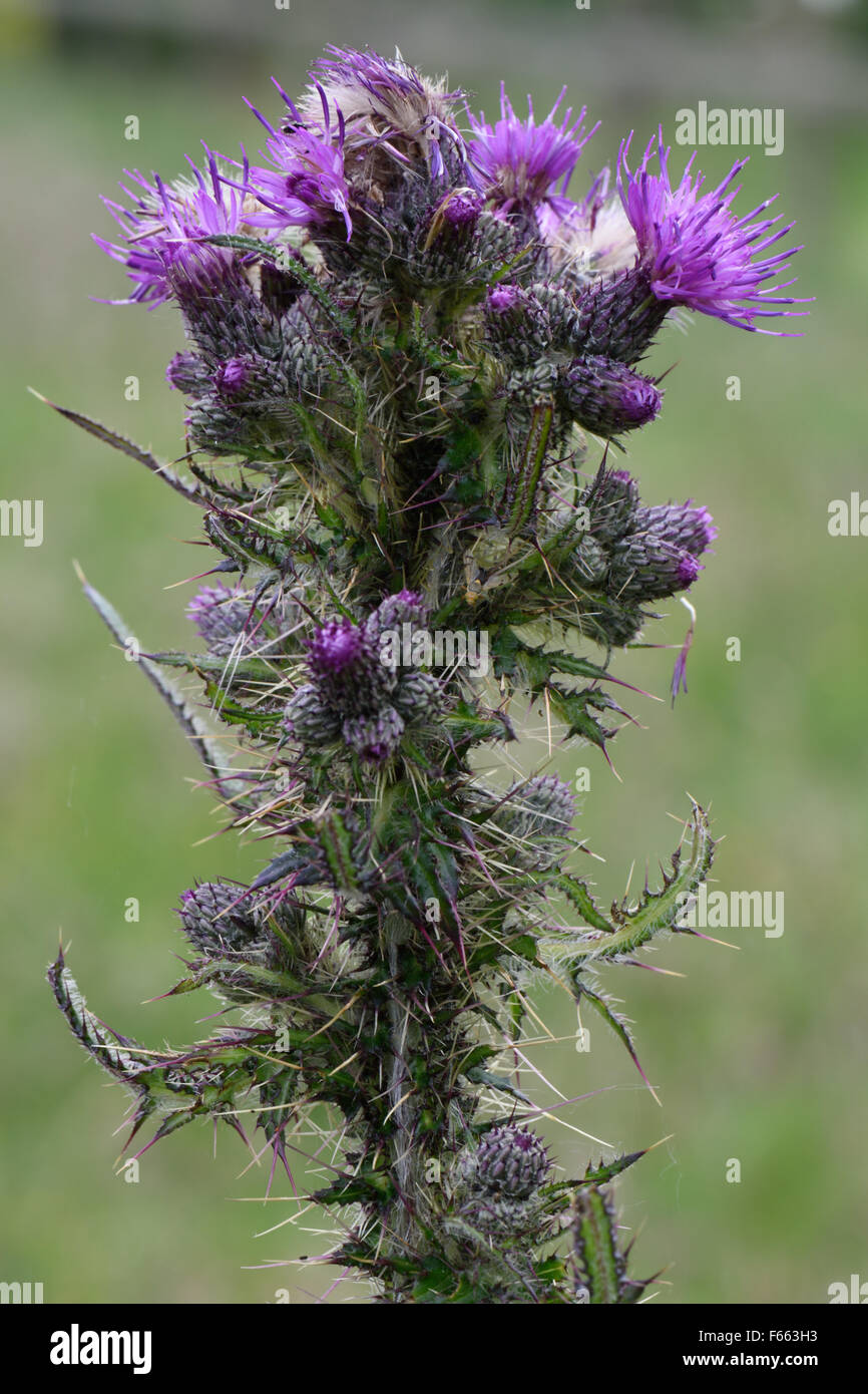 Purple spiky plant stock photos purple spiky plant stock images purple flowers of a marsh thistle cirsium palustre tall upright with spiky leaves mightylinksfo