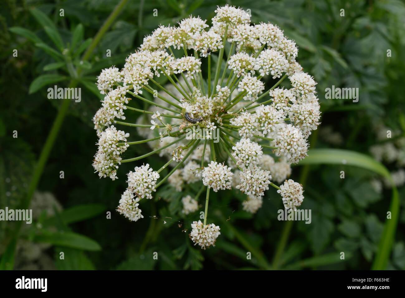Hemlock water dropwort, Oenanthe crocata, white flower of very poisonous plant growing beside the canal, Berkshire, - Stock Image