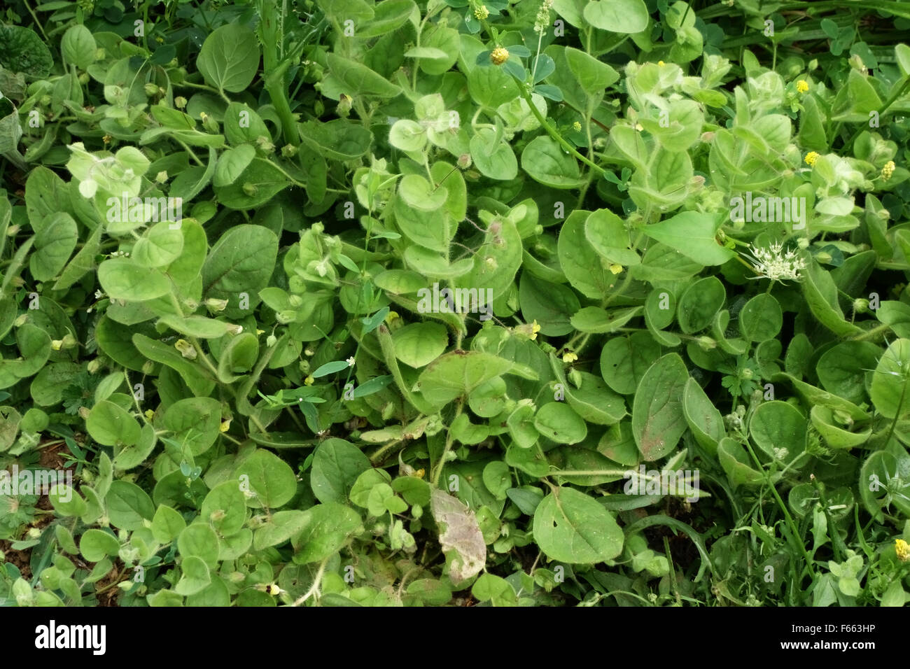 Round-leaved fluellen, Kickxia spuria, flowering prostrate plant,  Berkshire, July - Stock Image