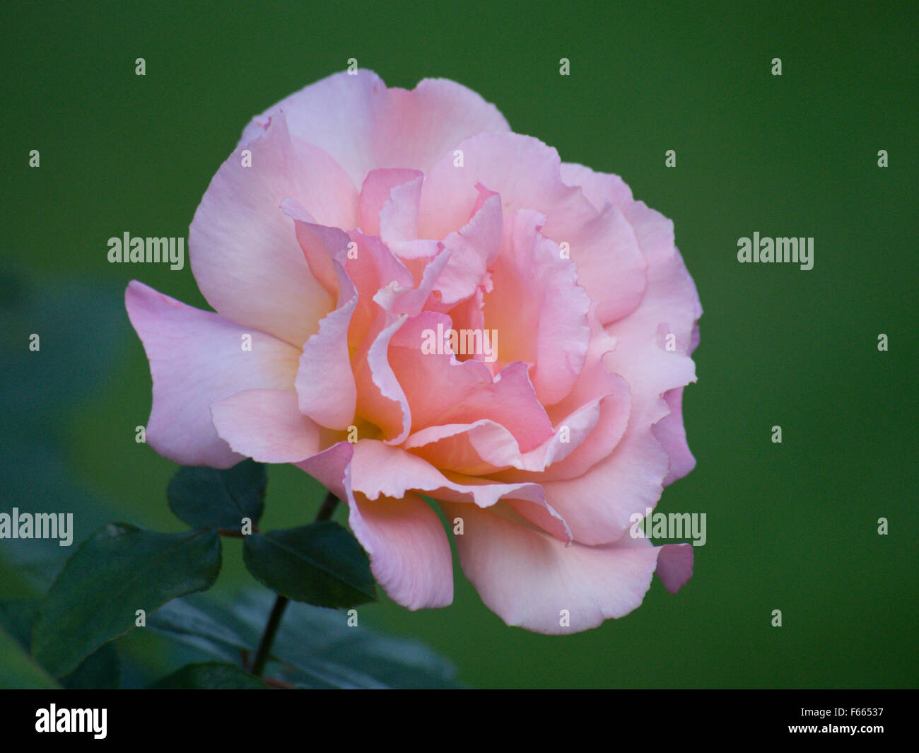 Pretty Rose Stock Photos Pretty Rose Stock Images Alamy