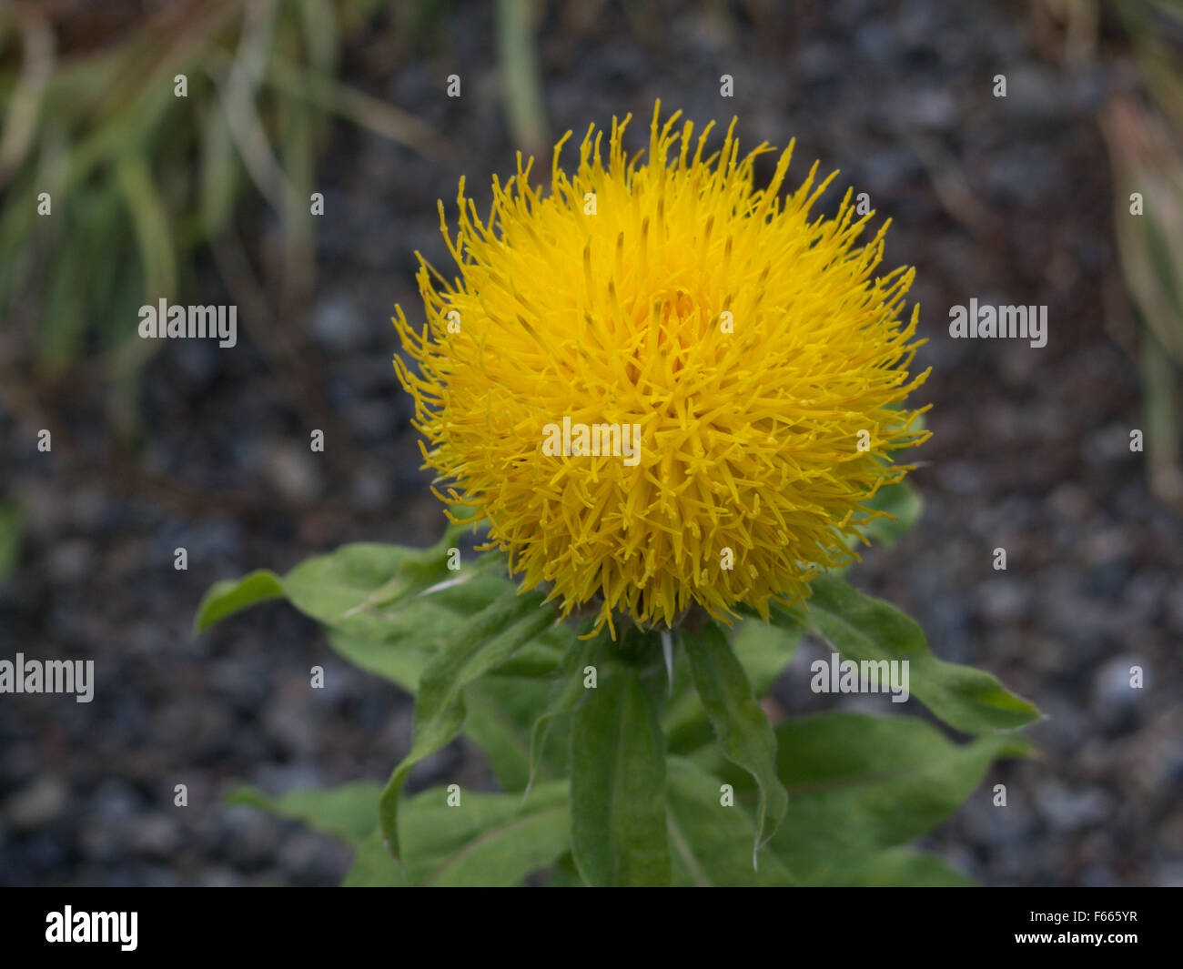 Yellow Ball Flower Stock Photos Yellow Ball Flower Stock Images