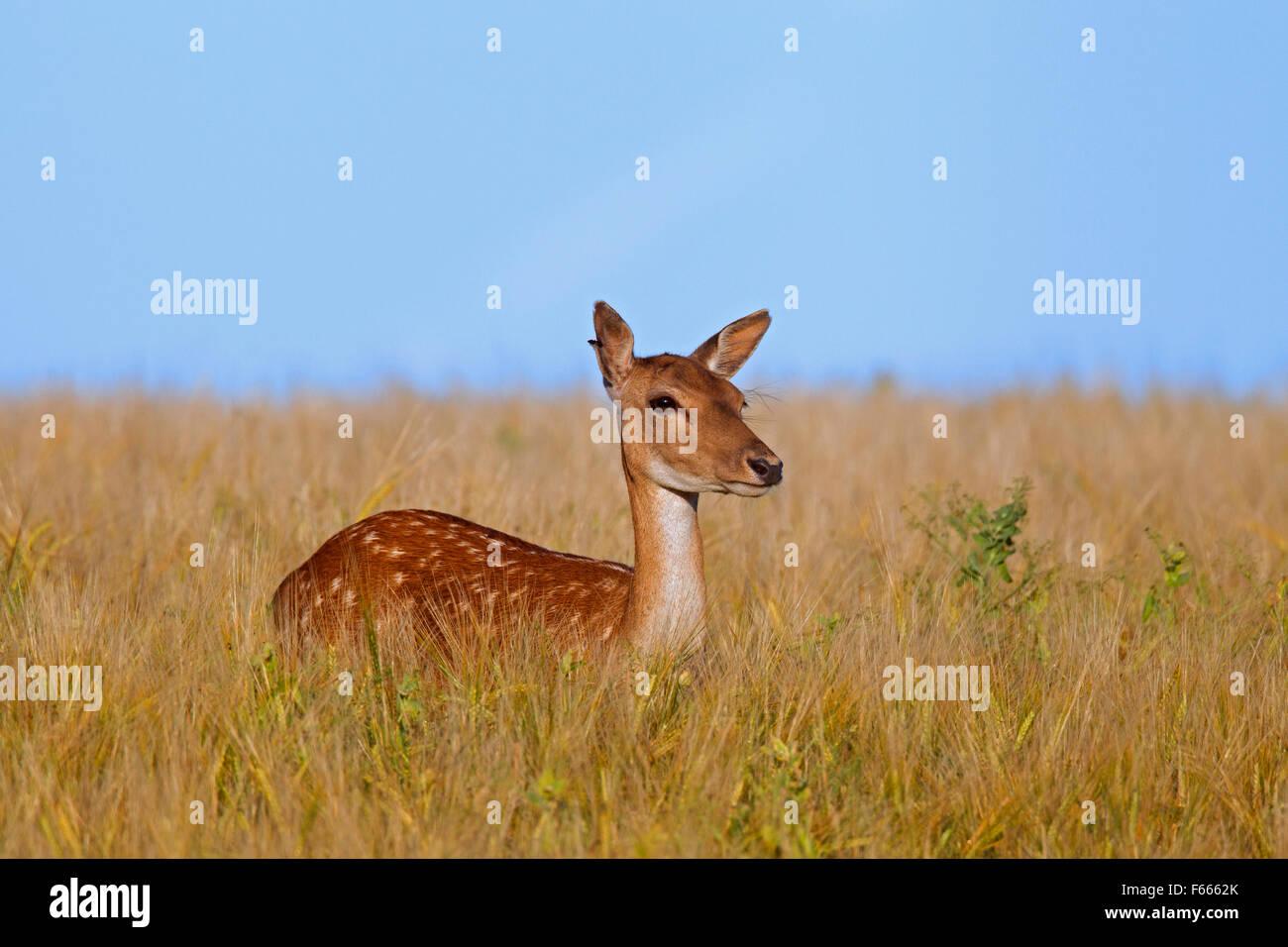 Fallow deer (Cervus dama / Dama dama) doe in wheat field in summer - Stock Image