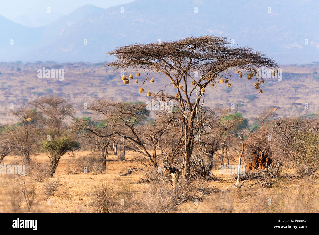Umbrella Thorn Acacia Vachellia Tortilis With Weaver Ploceidae
