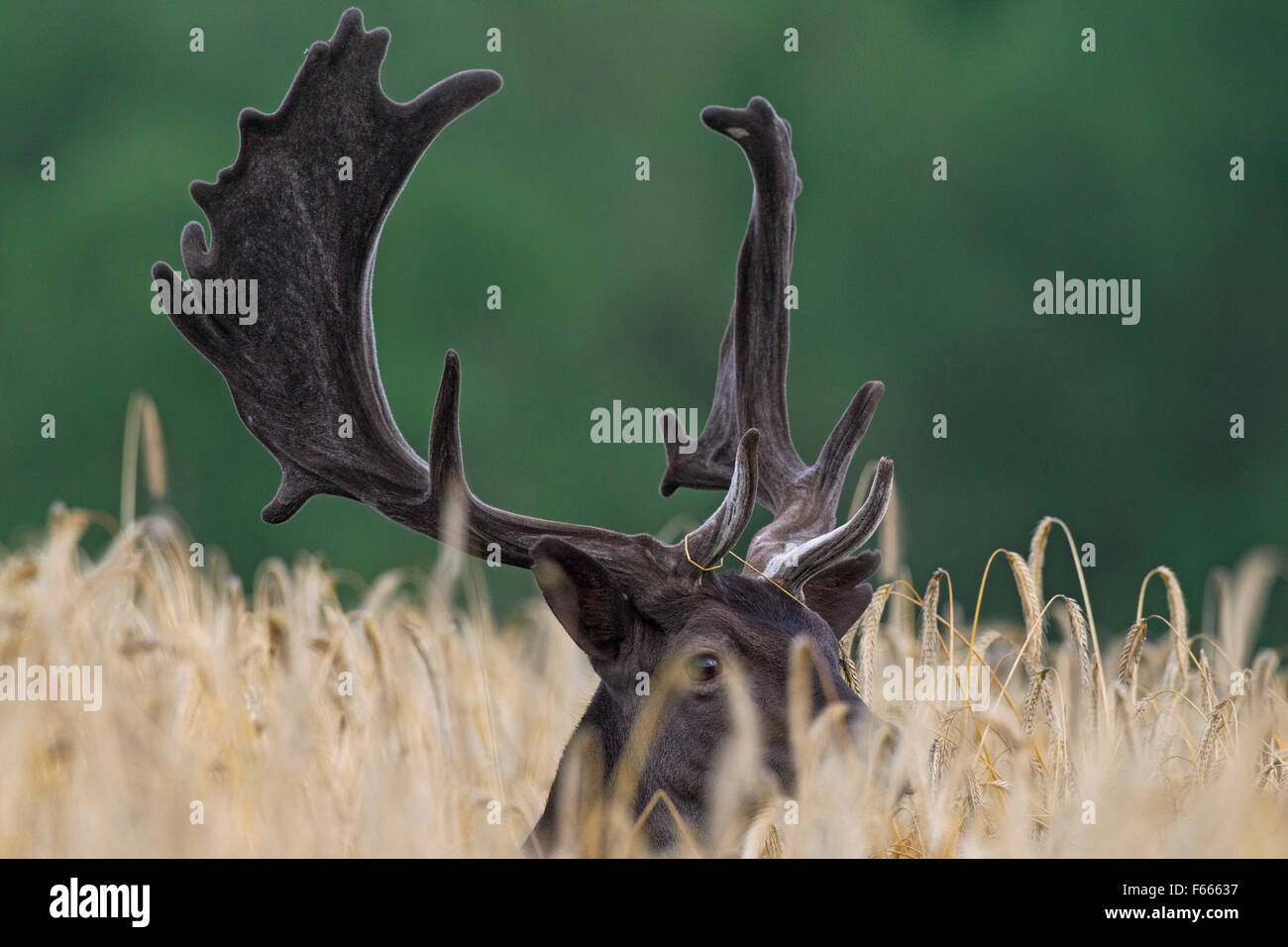 Fallow deer (Dama dama) buck with antlers covered in velvet in wheat field in summer - Stock Image