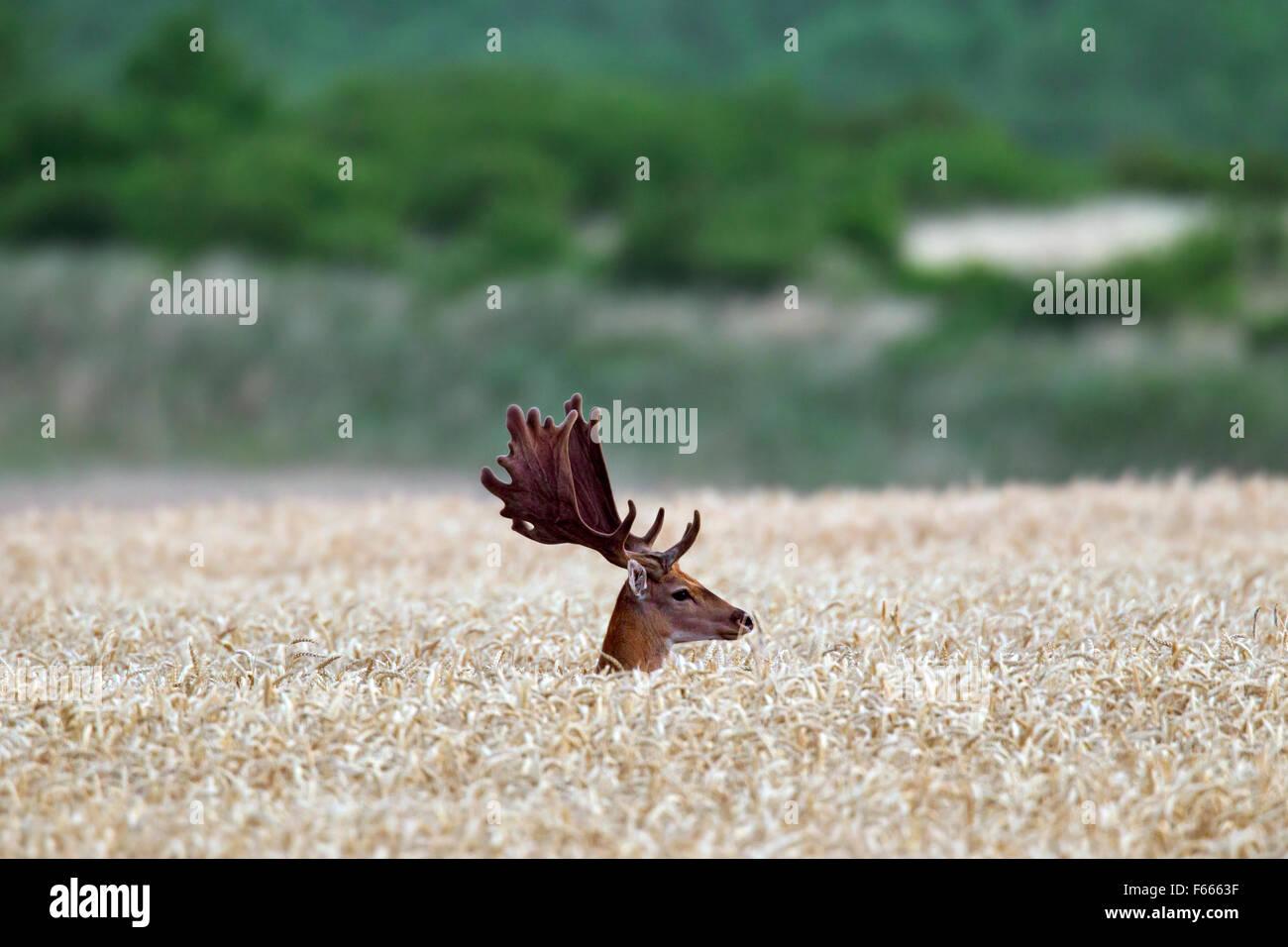 Fallow deer (Dama dama) buck with antlers covered in velvet in cornfield in summer Stock Photo