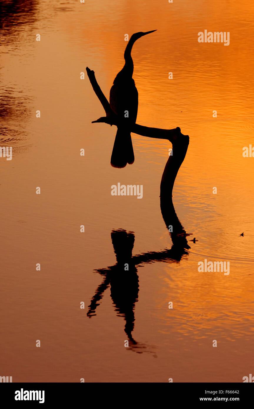 Silhouette of American darter / anhinga / snakebird (Anhinga anhinga) perched on stick above water of lake at sunset, Stock Photo