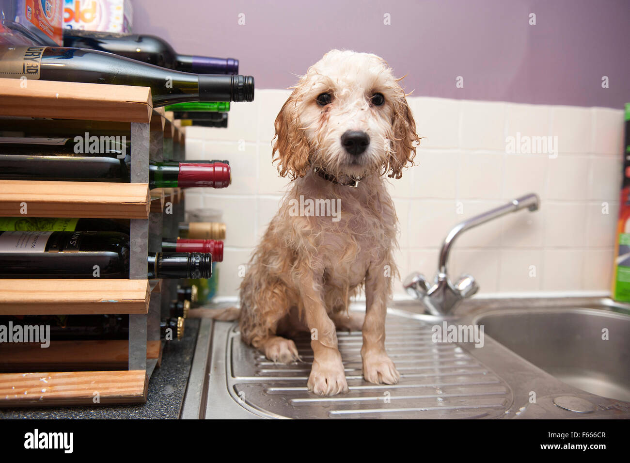 A forlorn and bedraggled looking dog after being washed in a stainless steel sink. Stock Photo