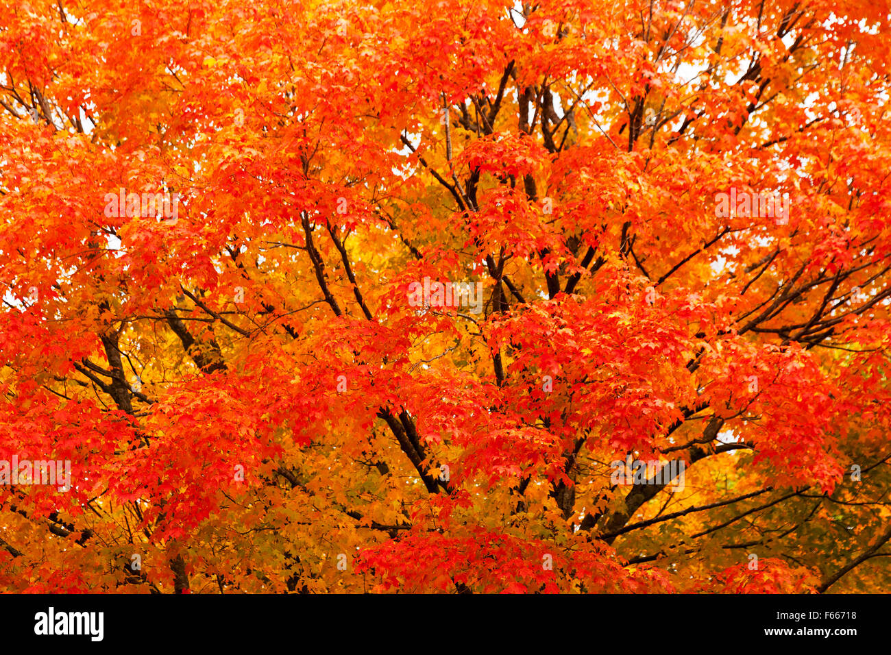 Glorious flaming colours from a maple tree in autumn, Vermont, New England , USA - Stock Image