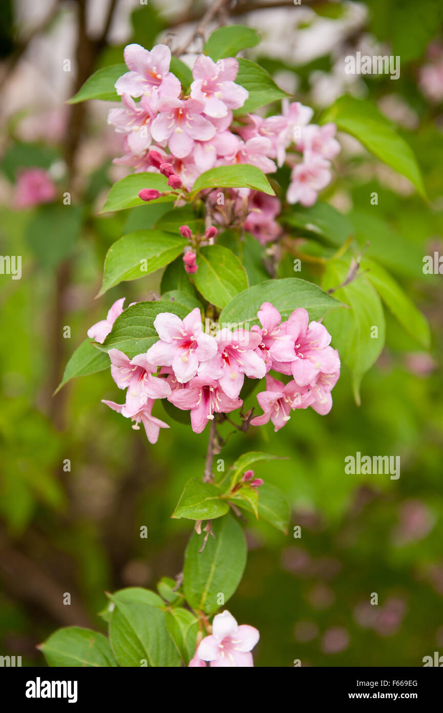 Weigela plant blossoms, shrub growing in the garden in Poland, Europe, ornamental flower in the Caprifoliaceae family, - Stock Image