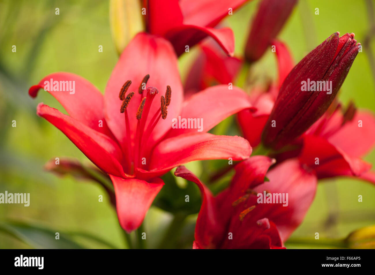 Red lily flower stamens large flower macro deciduous perennial red lily flower stamens large flower macro deciduous perennial plant in the liliaceae family flowers grow in poland europe mightylinksfo