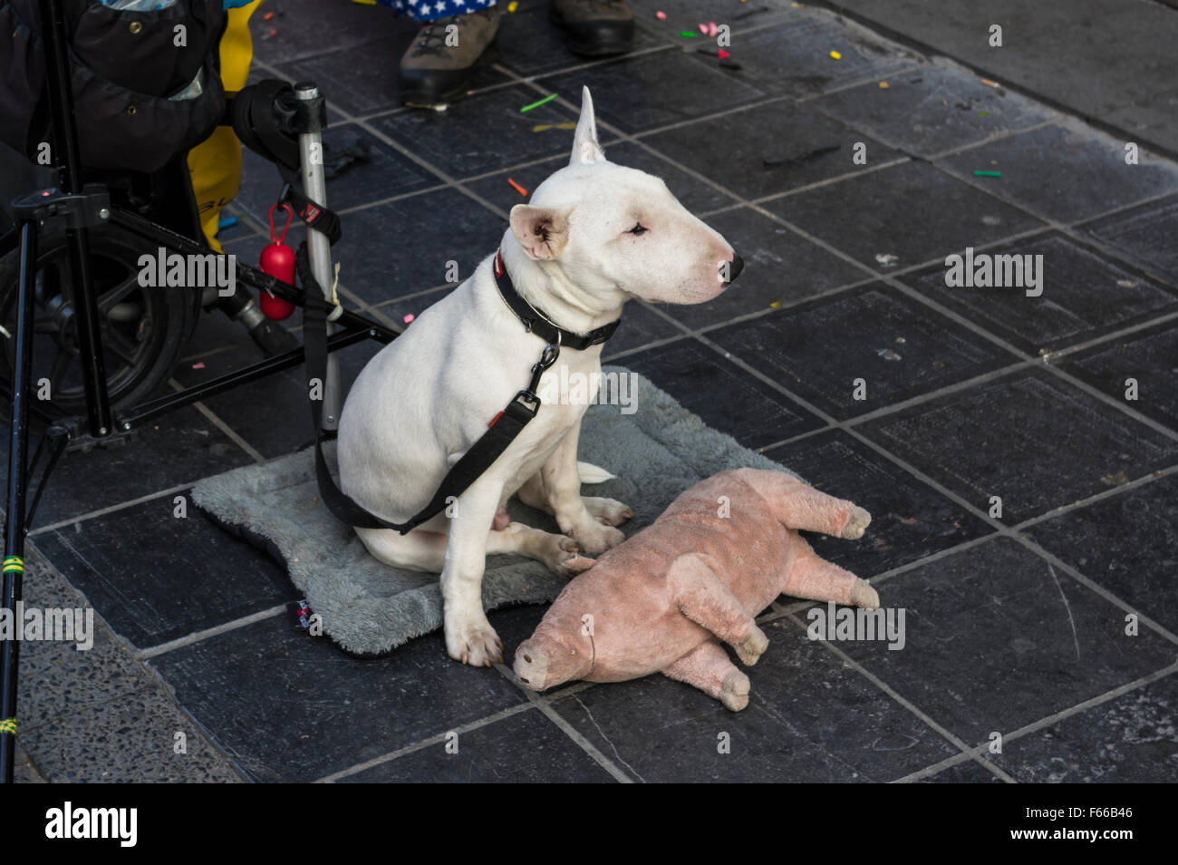 Young white Bull Terrier dog on a leash, looking bored, with a plush pig. - Stock Image